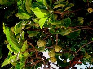 photo by Gina Tyler,Noni fruit