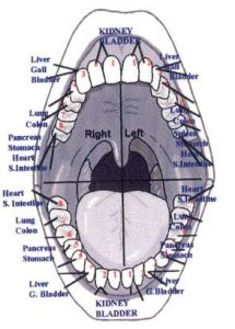 teeth-and-organ-relationship